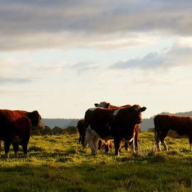 Remesis : Australian Beef Cuts, Australian Beef Suppliers by Eylon Levy - Food & Drink Meats & Cheeses ( beef meat suppliers, australian beef exports, australian beef suppliers, beef producers australia, wagyu beef australia )
