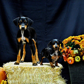 by Kristen O'Brian - Animals - Dogs Portraits ( pumpkin, straw, hay, white, weiner dog, puppy, dog, doberman, black, flower, tan )