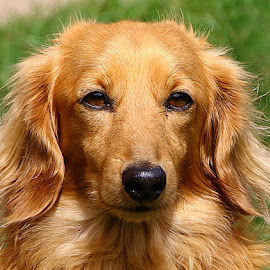 Jamie by Chrissie Barrow - Animals - Dogs Portraits ( orange, dachshund (miniature long haired), long haired, male, portrait, eyes, red, pet, whiskers, ears, fur, dog, nose, tan )