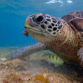 Friendly Turtle by Sergei Tokmakov - Animals Sea Creatures ( apo, sea turtle, tourism, turtle )