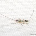 Tiny Parasitic Wasp