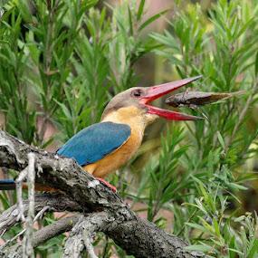 Stork Billed Kingfisher by Ken Goh - Animals Birds (  )