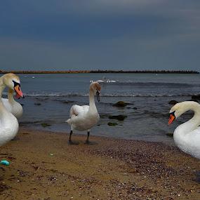 Лебеди  by Dobrinka Ivanova - Animals Birds ( бряг, лебеди )