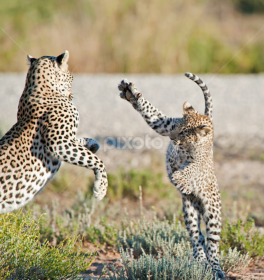 Lets play Mom !!!!! by Bridgena Barnard - Animals Lions, Tigers & Big Cats ( playing, barnard, images, leopard, cub, bridgena,  )