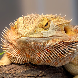 Bearded by Shawn Thomas - Animals Reptiles