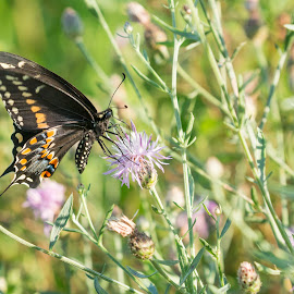 Black Swallowtail by Karen E. Brown - Animals Horses ( field, plant, butterfly, nature, outdoor, meadow, summer, insect, swallowtail, flower )