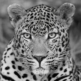 Dewane ! by Anthony Goldman - Black & White Animals ( ulusaba, leopard, bigcat, predator, nature, b & w, wild, male, south afric., wildlife,  )