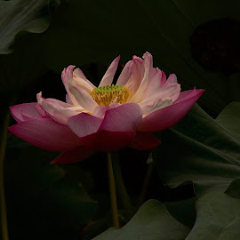 Lotus Light by Francisco Little - Flowers Flowers in the Wild ( lotus, lily, bloom, pink, shadows, china )