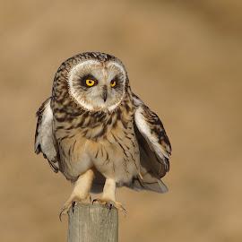 Short-eared Owl by Hans Olav Beck - Animals Birds ( 2017, mountain, april, norwegian, sunlight, spring, norway, short-eared owl )