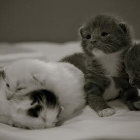 Kittens by Brennan Adamus - Animals - Cats Kittens ( awww, adorable, kittens, cute, pretty,  )