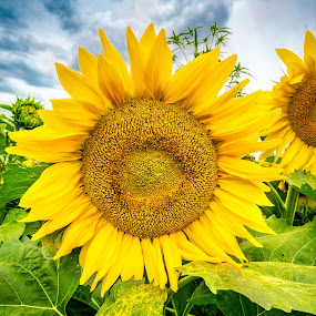 Proud Sunflower by Andrew Christmann - Flowers Flowers in the Wild ( sky, blue, green, yellow, landscape, sun flowers, flower, sun, traverse city )
