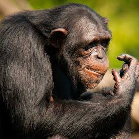 Measure Twice, Cut Once by Kevin Beasley - Animals Other Mammals ( fur, monkey, endangered, primate, ape, pan, chimpansee, africa, natural, paniscus, background, animal, looking, jungle, adult, creature, forest, congo, cute, shot, head, hair, common, mammal, captive, chimpanzee, pan troglodytes, zoological, zoo, funny, furry, wildlife, expression, robust, green, chimp, hominid, nature, black, troglodytes, portrait, great, tropical, face, species, african, baby, uganda, wild, sitting )