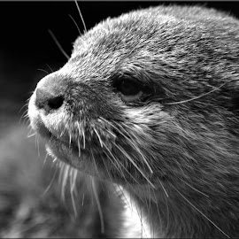 otter by Nic Scott - Animals Other Mammals ( otter, animal )