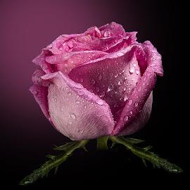 Rose Day by Rakesh Syal - Flowers Single Flower