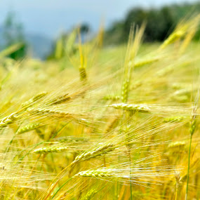 Golden Harvest by Tridibesh Indu - Nature Up Close Gardens & Produce ( wheat, wind, nature, bright, shoghi, windy, yellow, harvest, shimla, golden, photography )