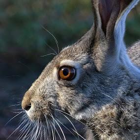 Jack by Dave . - Animals Other Mammals ( wild, nature, arizona, wildlife, hare, black tailed jackrabbit, jackrabbit, mammal )