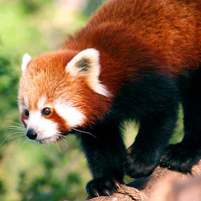 Red Panda Out For A Walk by Joanne Draper - Novices Only Wildlife ( melbourne zoo, zoo, australia, wildlife, red panda, animal )