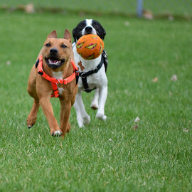 by Claudia Birkland - Animals - Dogs Playing