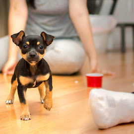 by Hoover Tung - Animals - Dogs Puppies ( canine, pet, purebred, adorable, puppy, cute, dog, chihuahua, small, young, black, animal,  )