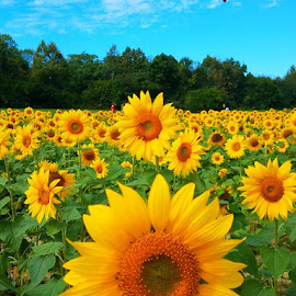 Sunflower Field by Vijay Govender - Flowers Flowers in the Wild ( flowers, fall, yellow, sunflowers )