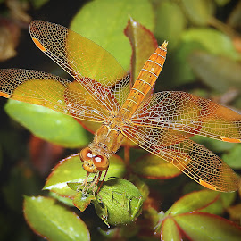 Mexican Amberwing Dragonfly by Dawn Hoehn Hagler - Animals Insects & Spiders ( arizona, tucson, rose garden, insect, dragonfly, mexican amberwing, reid park rose garden, garden )
