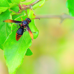 Wasp by Yusop Sulaiman - Animals Insects & Spiders