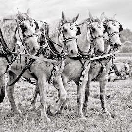 Amish Draft Team by Kim Wilhite - Animals Horses ( amish, indiana, draft horses, equine, horses )