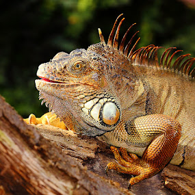 Red iguane in the tree by Gérard CHATENET - Animals Reptiles
