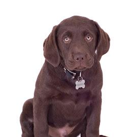 George by Derek Stein - Animals - Dogs Puppies ( studio, dog )