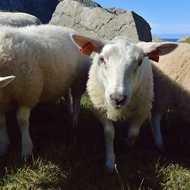 My lovely friends! by Zion Tay Zi Yong - Animals Other Mammals ( sheep, lofoten, norway )