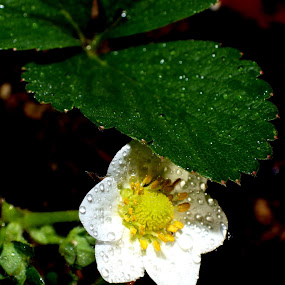 Strawberry by Martin Stepalavich - Flowers Single Flower (  )