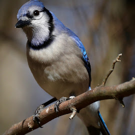 You Looking At Me? by Mike Craig - Animals Birds ( bluejay )