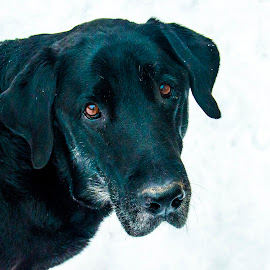 Chan the Man by Andrew Brinkman - Animals - Dogs Portraits ( labrador retriever, animals, dogs, pet, pets, black lab )