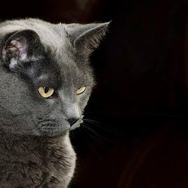 Miss Blue by Patti Cooper - Animals - Cats Portraits ( cat, gray cat, blue, blue cat, gray, portrait )