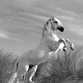 Stallion Rearing by Helen Matten - Black & White Animals ( stallion, wild, horses, white, beach, black, rearing,  )