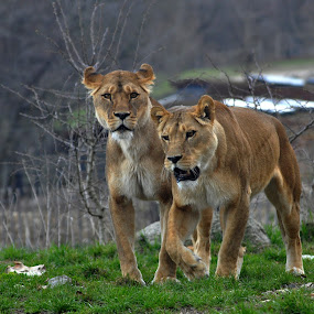 Sisters by Steen Hovmand Lassen - Animals Lions, Tigers & Big Cats ( predator, lionesses, carnivore, africa, animal,  )