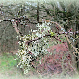 Lichen by Caroline Beaumont - Nature Up Close Other plants ( green, trees, buds, hill fort, lichen )