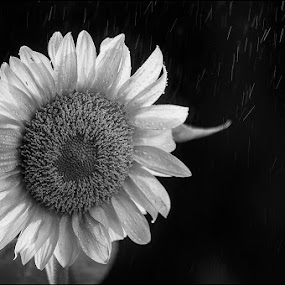 Sunflower BW by Jack Noble - Nature Up Close Flowers - 2011-2013 ( mushroom, canada, black and white, toronto, plants, sunflower, ontario, photography, jack nobre, macro, magic, nature, garden )