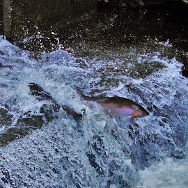 Trout Run by Carolyn Taylor - Animals Fish