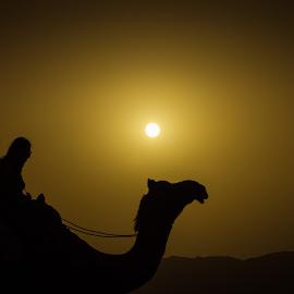 The Ship of Desert by Avanish Dureha - Animals Other Mammals ( pushkar, sunset, rajasthan, dureha@gmail.com, camels, india, avanish dureha )