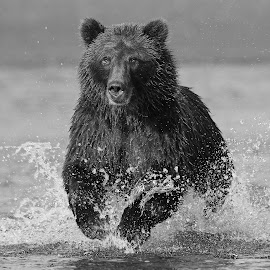 Going to get that Fish! by Anthony Goldman - Black & White Animals ( water, bear, wild, predator, b $ w, alaskan brown, nature, female, alaska, wildlife, lake, fishing, spalsh )