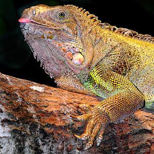 Miss iguana.jpg