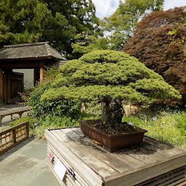 Bonsai in training since year 1625 by Mary Gallo - Nature Up Close Trees & Bushes ( training, 1625, old, ancient, tree, green, nature up close, outside, bonsai )