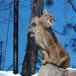 by Randy LaMora - Animals Lions, Tigers & Big Cats