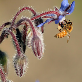 Borage Scene by Greg Van Dugteren - Nature Up Close Flowers - 2011-2013