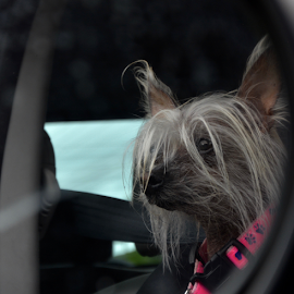 look by Rachel Urlich - Animals - Dogs Portraits ( car, outing, female, happy, pet, dog )
