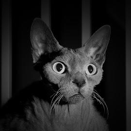 Sir Didymus  by Steven Colton - Animals - Cats Portraits ( b/w, cat, b/w cat, mono cat )