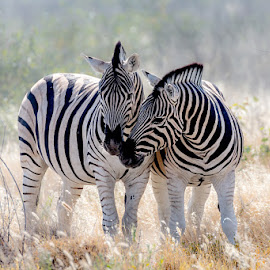 Affection by Timo Bierbaum - Animals Other Mammals ( animals, affection, nature, wildlife, africa, soft, namibia, zebras )