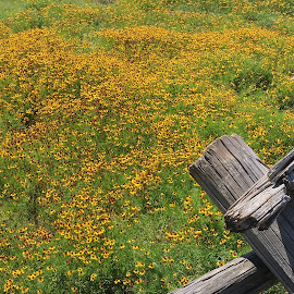 Field of dreams by Ranay Guilfoyle - Landscapes Prairies, Meadows & Fields ( field, fence, wildflowers, yellow, prairie )
