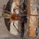 Clubionid Spider
